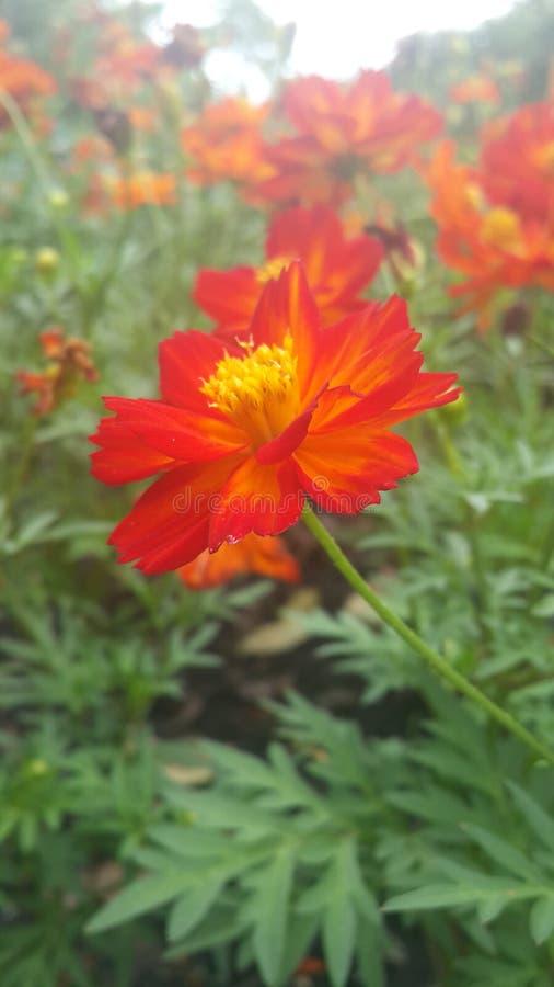 Bloemsinaasappel royalty-vrije stock afbeelding