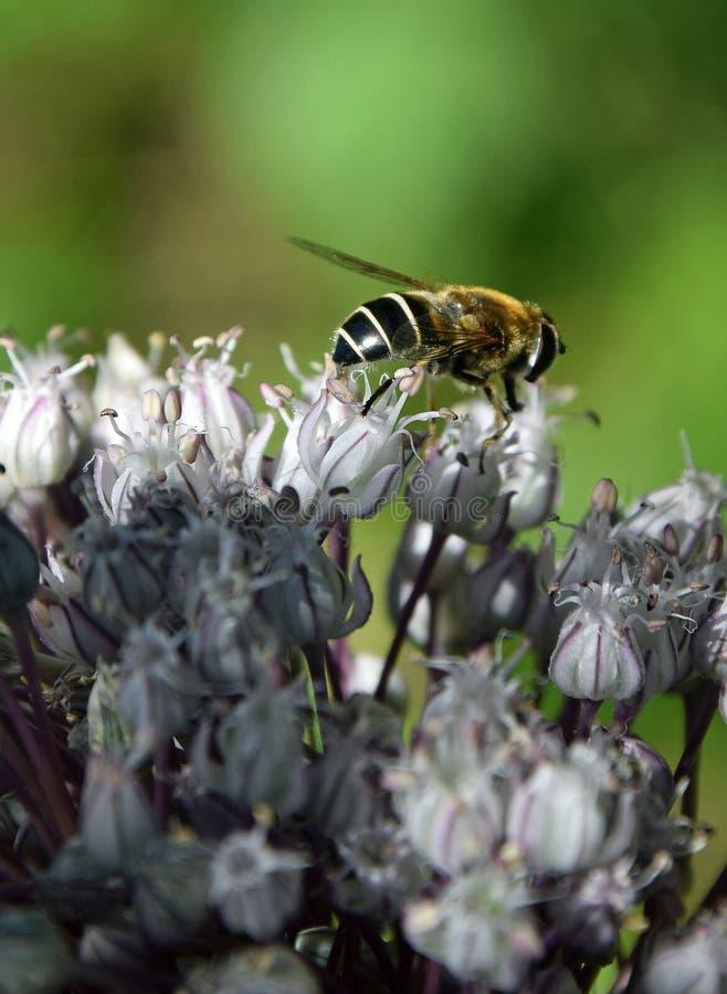 Bloemvlieg op een bloesem van gebiedsknoflook royalty-vrije stock afbeeldingen