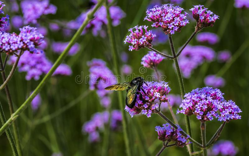 Bloemvlieg op purpere bloem stock foto's