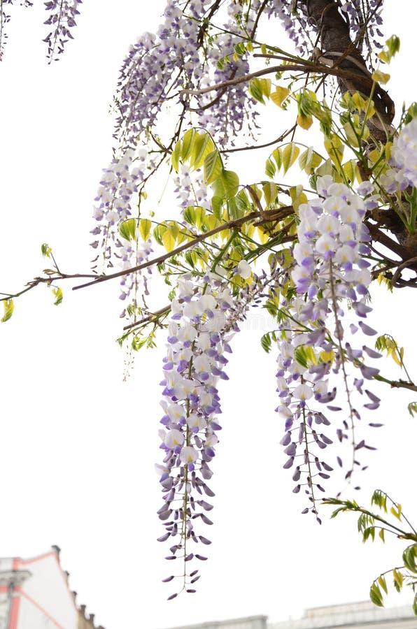 Bloesem Aziatische bloem stock foto
