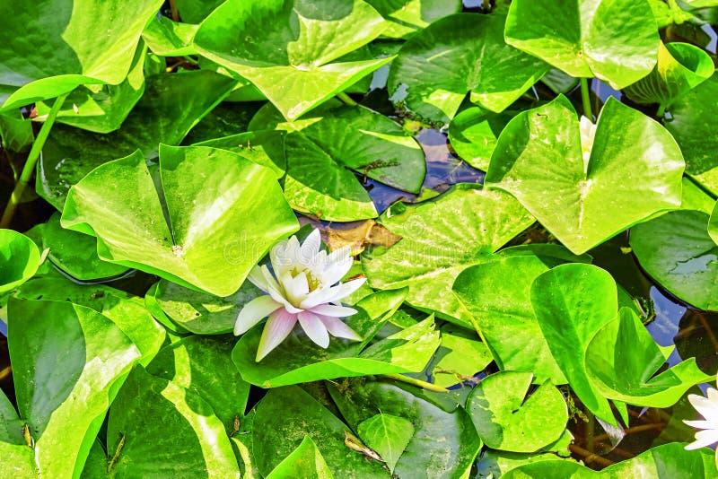 Bloesem Lotus in typische Chinese tuin, park Peking stock fotografie