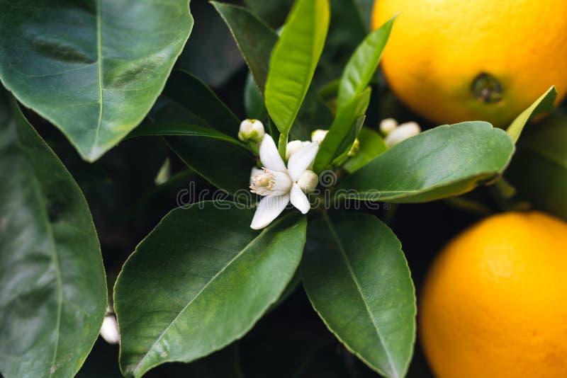 Bloesem oranje bomen Mooi seizoen, wanneer de bomen rijpe vruchten en bloemen tegelijkertijd hebben stock fotografie