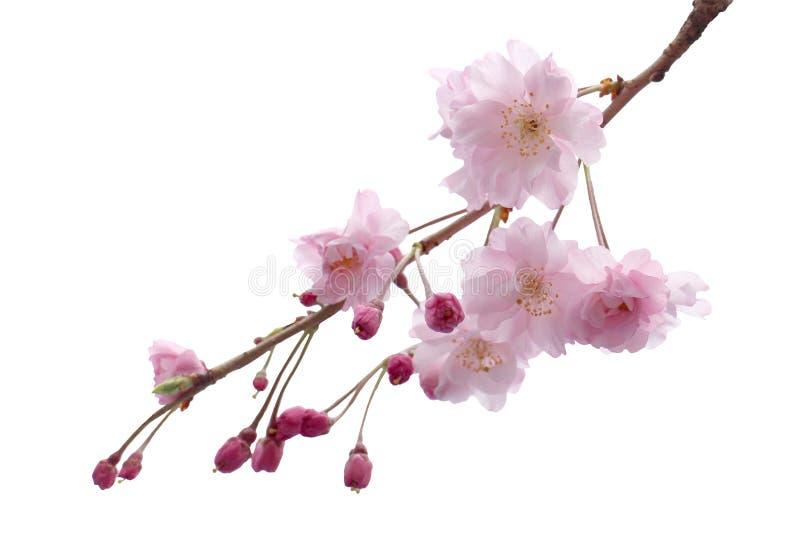 Bloesem van de de bloem de boom geïsoleerde Kers van volledige bloeisakura stock afbeelding
