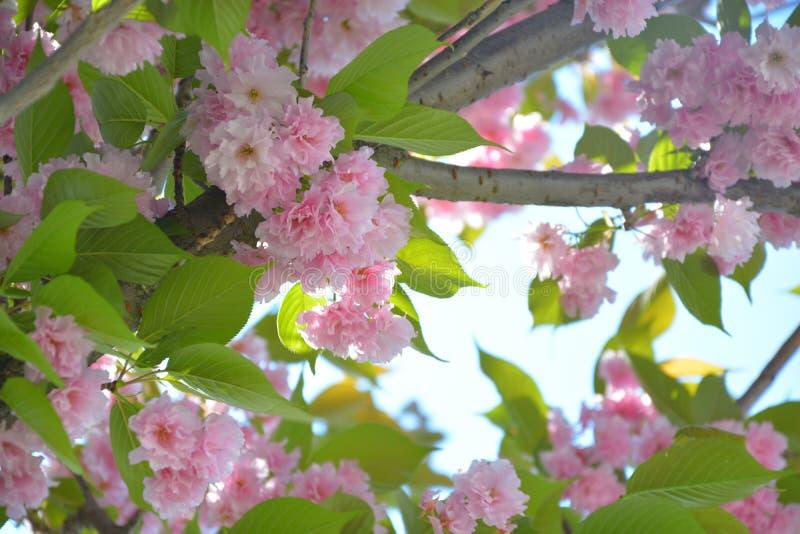 Bloesem van de lente in Belin royalty-vrije stock foto