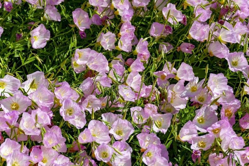 Bloesem van de roze bloemen van het bellflowersklokje in tuin, aardachtergrond royalty-vrije stock fotografie
