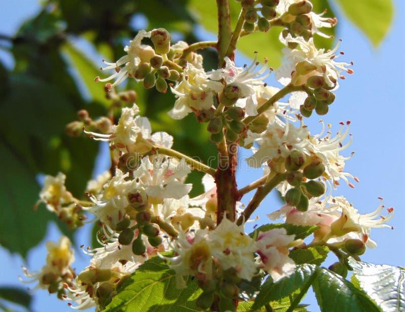 Bloesem van kastanjeboom in openlucht het groeien, Italië, close-up royalty-vrije stock afbeelding