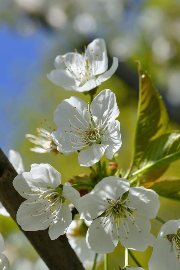 Bloesem van kersenboom royalty-vrije stock foto's