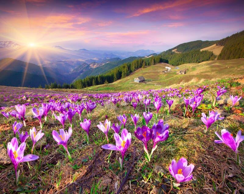 Bloesem van krokussen bij de lente in de bergen royalty-vrije stock foto