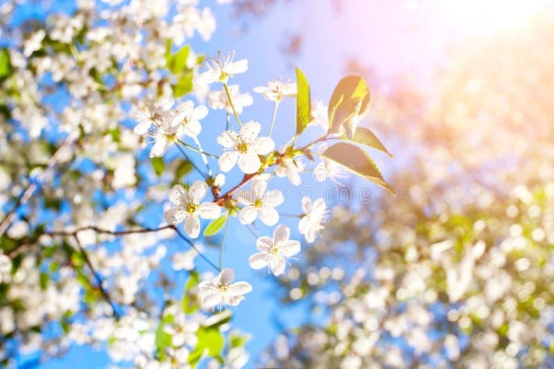 Bloesemboom over aard achtergrond de Lentebloemen/de Lenteachtergrond royalty-vrije stock foto's