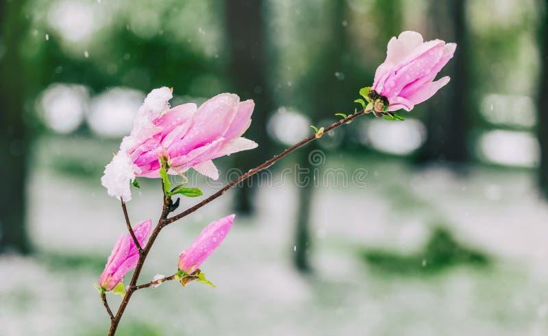 Bloesemmagnolia's over aardachtergrond Mooie aardscène met bloeiende boom, zon en sneeuw stock foto's