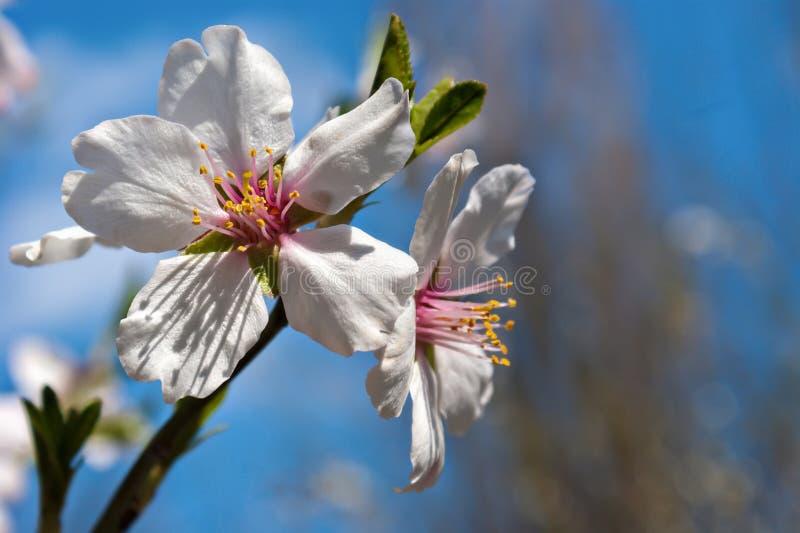 Bloesems bij de lente Bloemen van de macro van het amandelclose-up stock afbeelding