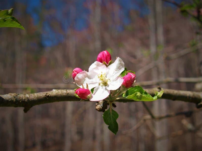 Bloesems op een appelboom royalty-vrije stock foto