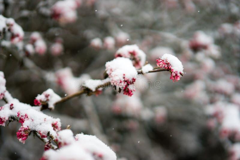 Bloesems in sneeuw worden behandeld die royalty-vrije stock foto's