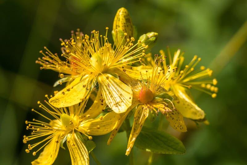 Bloesems van bevlekt St Johns wort, Hypericum-maculatum royalty-vrije stock foto