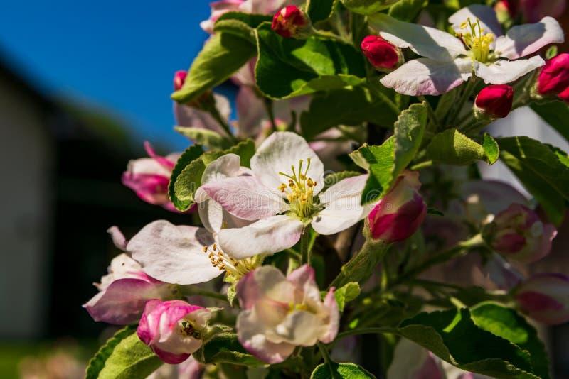 Bloesems van de appelboom stock afbeelding