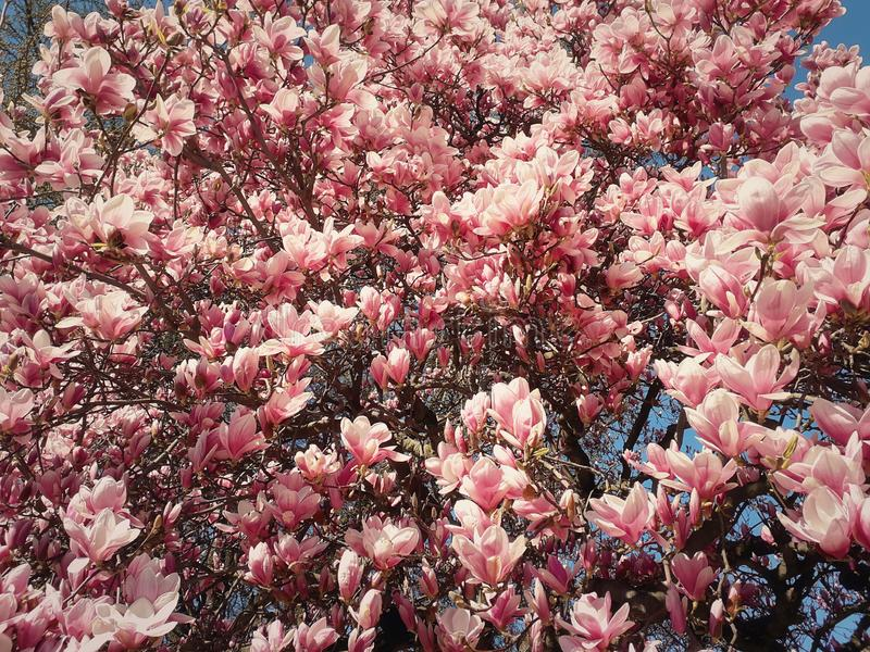 Bloesems van de de bloemcluster van de de lente de roze magnolia op de takken in het park royalty-vrije stock foto