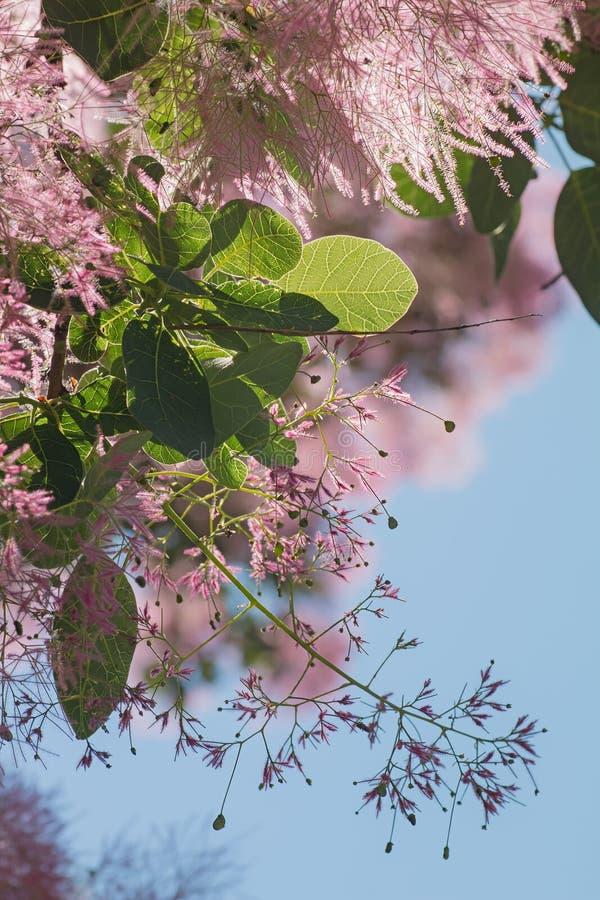 Bloesems van een struik van cotinuscoggygria royalty-vrije stock foto's