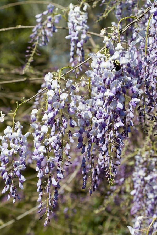 Bloesems van lavendel de Purpere Chinese Wisteria - Wisteria-sinensis royalty-vrije stock foto's