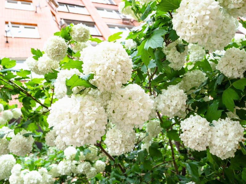 bloesems van viburnumboom en flatgebouw royalty-vrije stock afbeeldingen