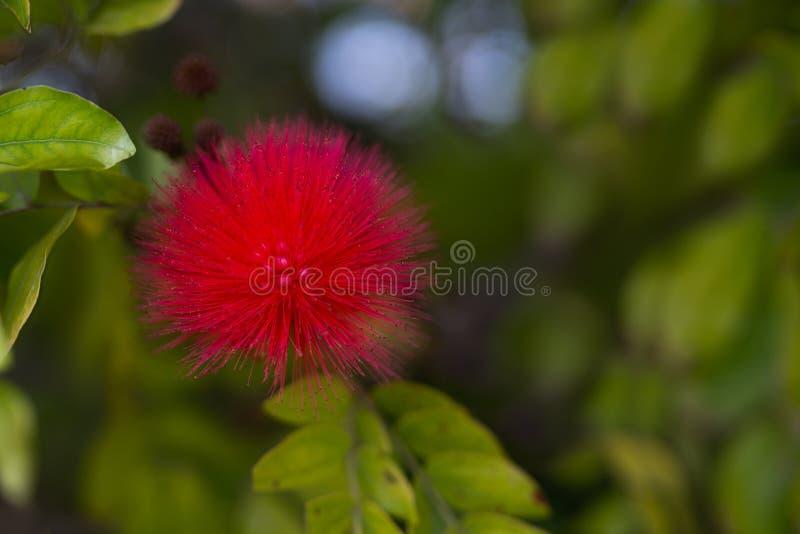 Bloesemstruik met mooie rode bloemen royalty-vrije stock afbeeldingen