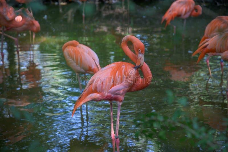 Blok van roze flamingos in ondiep water royalty-vrije stock afbeelding
