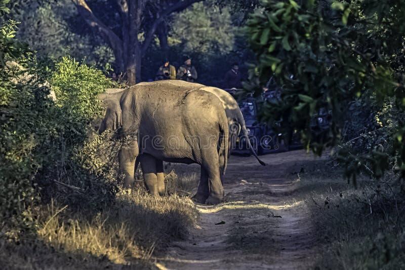 Blokujący ślad Indiańskimi słoniami w Jim Corbett parku narodowym, India obraz stock