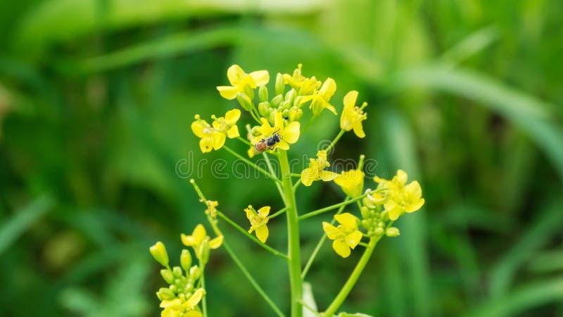 Blom- av cantoneseväxten arkivbild