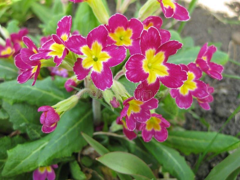 Blom av primulan med den purpurfärgade blommacloseupen arkivfoto