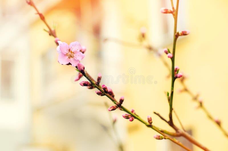 Blom av träd med en rosblomma, komma av våren, en solig dag, knoppar på ett träd, naturtapet Cherry Sakura royaltyfria foton