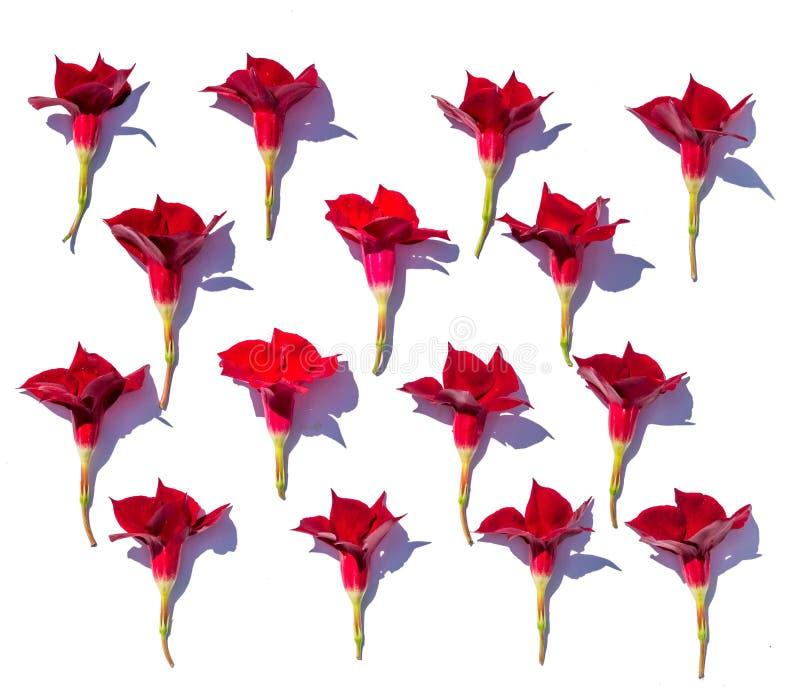 Blom- bakgrund av frodiga ljusa röda mandevillablommor, fördelade jämnt ut på en vit bakgrund, i ljust kontrastera solljus arkivbilder