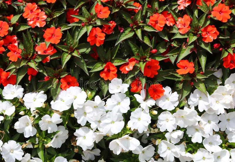 blom- bakgrund av liten vit och röda blommor arkivbild