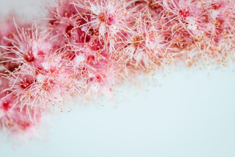 Blom- bakgrund för hälsningkort och texter Härlig rosa spirea på pastellfärgat blått vitt bakgrundsslut upp spirea royaltyfri foto