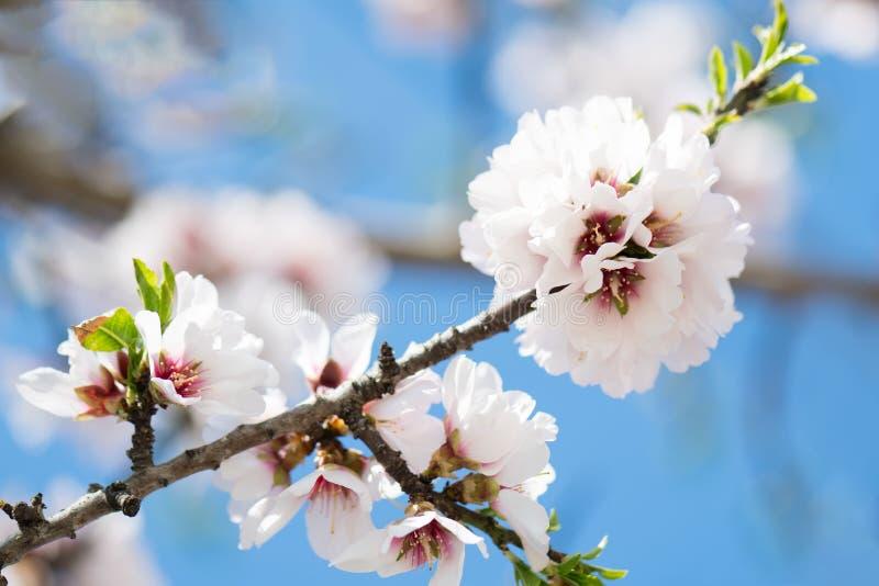 Blom- bakgrund för härlig vår med att blomstra mandelfilialer, bokeh, suddig bakgrund och textur arkivfoton