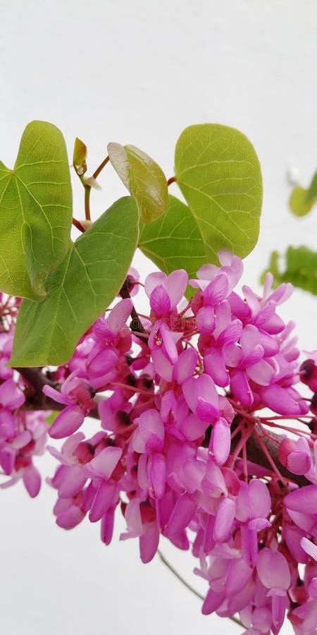 Blom- bakgrund f?r ljus sommar Härliga grupper av rosa akaciablommor arkivbild