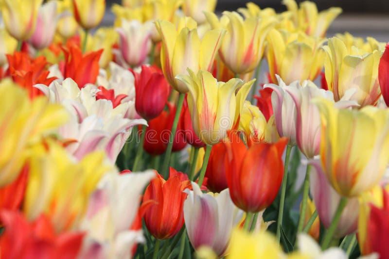 Blom- bakgrund med att blomstra färgrika tulpan royaltyfri bild