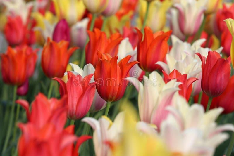 Blom- bakgrund med att blomstra f?rgrika tulpan fotografering för bildbyråer