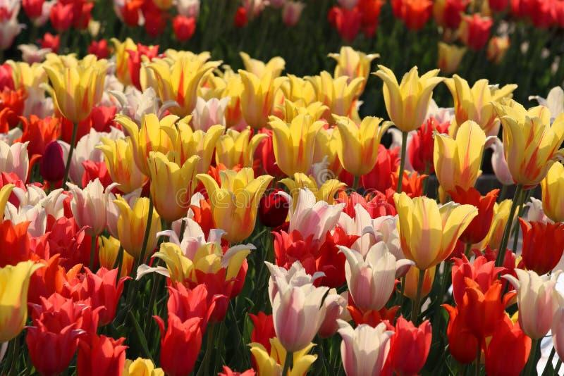 Blom- bakgrund med att blomstra f?rgrika tulpan arkivfoton