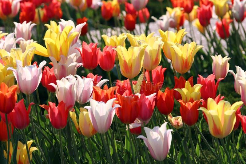 Blom- bakgrund med att blomstra f?rgrika tulpan royaltyfri fotografi