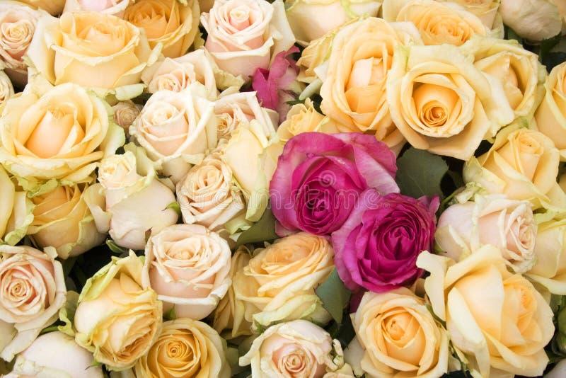 Blom- bakgrund med rosor, goda för hälsningkort fotografering för bildbyråer