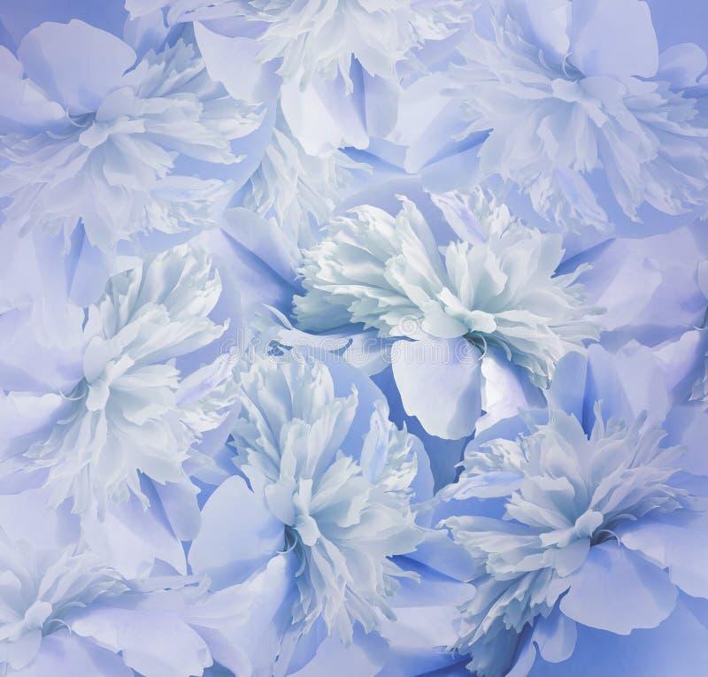 Blom- blåvit bakgrund Bukett av blommor av pioner Blått-turkos kronblad av pionblomman Närbild arkivbild
