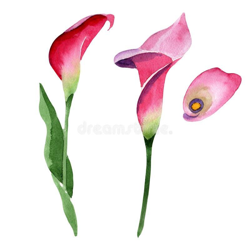 Blom- botanisk blomma för rosa calla Upps?ttning f?r vattenf?rgbakgrundsillustration Isolerad callaillustrationbeståndsdel stock illustrationer