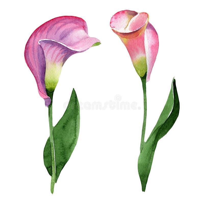Blom- botanisk blomma för rosa calla Upps?ttning f?r vattenf?rgbakgrundsillustration Isolerad callaillustrationbeståndsdel royaltyfri bild