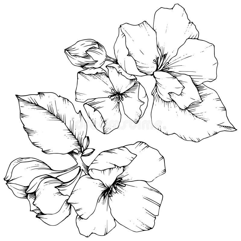 Blom- botanisk blomma för vektorApple blomning Svartvit inristad färgpulverkonst Isolerad blommaillustrationbeståndsdel royaltyfri illustrationer