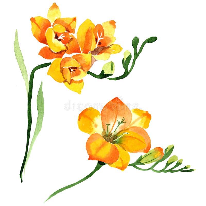 Blom- botaniska blommor för gul freesia För ackgroundillustration för vattenfärg b uppsättning Isolerad freesiaillustrationbest?n royaltyfri fotografi