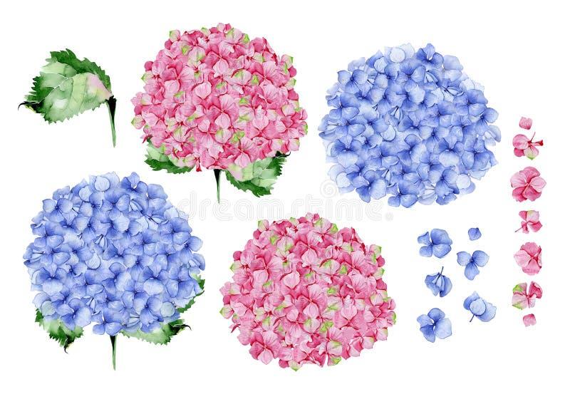 Blom- design för blå och rosa vattenfärgvanlig hortensia royaltyfria bilder