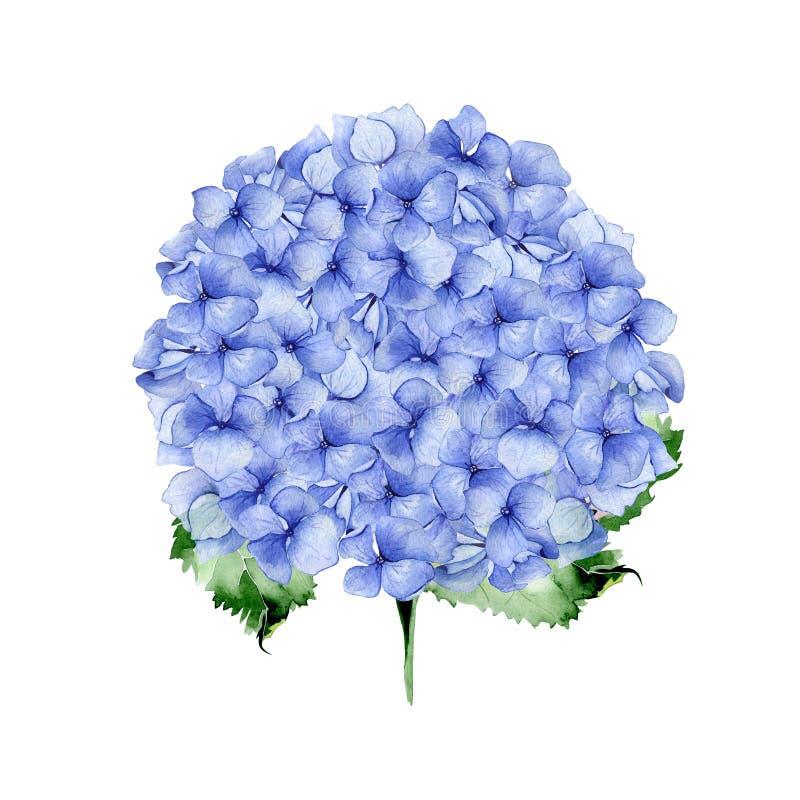 Blom- design för blå vattenfärgvanlig hortensia stock illustrationer