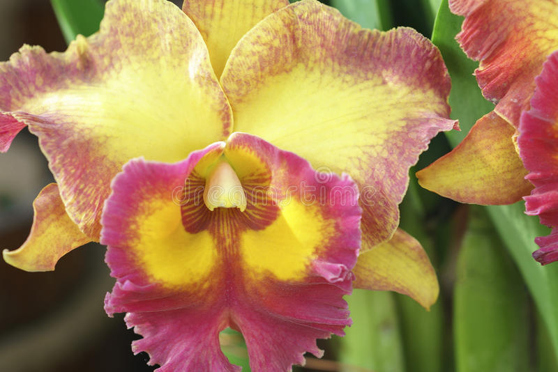 Blom för blommor för DendrobiumAphyllum orkidér i vår arkivfoton