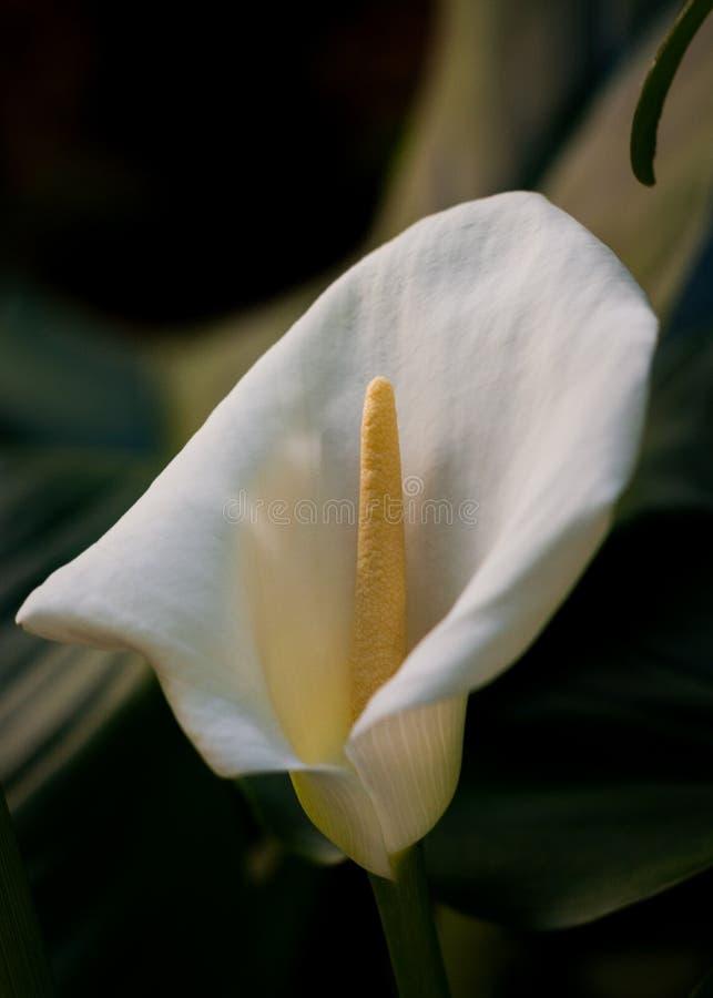 Blom för Callalilja i trädgård royaltyfria foton