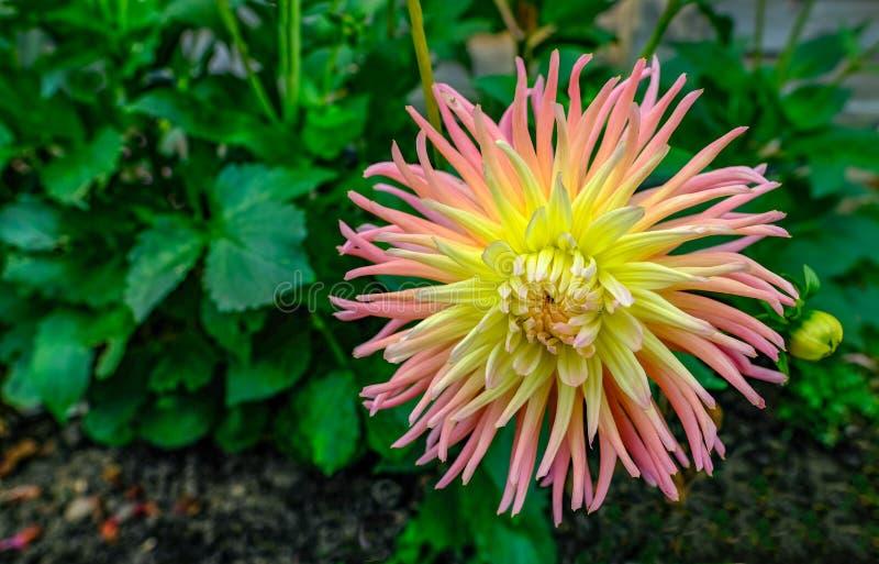 Blom för dahlia för rosa färg- och gulingkaktustyp oavkortad med grön foli royaltyfri fotografi