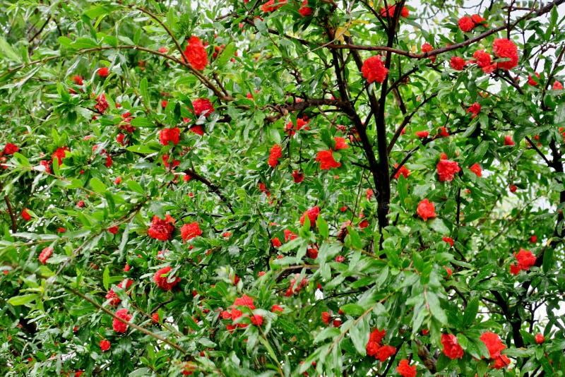 Blom för granatäppleträd med röda och rosa blommor arkivbild